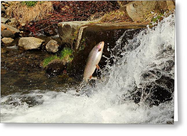 Rainbow Trout Greeting Cards - Spawning Run Rainbow Trout Greeting Card by Duane Cross
