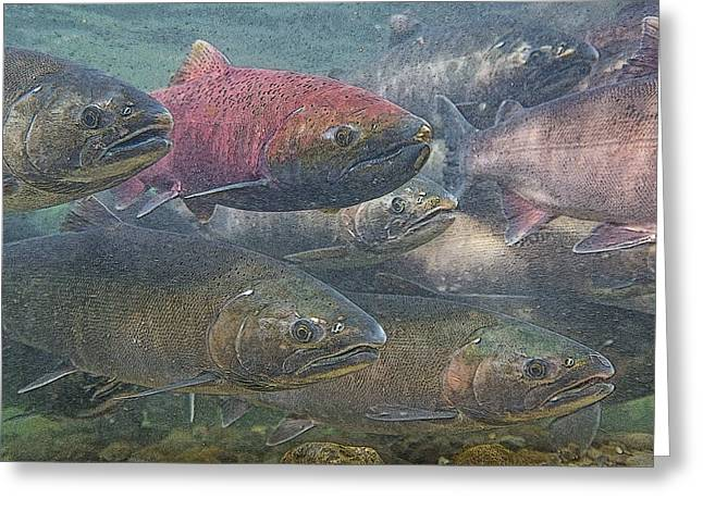 Coho Salmon Greeting Cards - Spawning Season- Abstract Greeting Card by Tim Grams