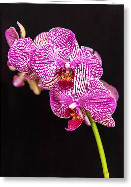 Pinks And Purple Petals Photographs Greeting Cards - Speckled Orchid On Black Greeting Card by Willie Harper