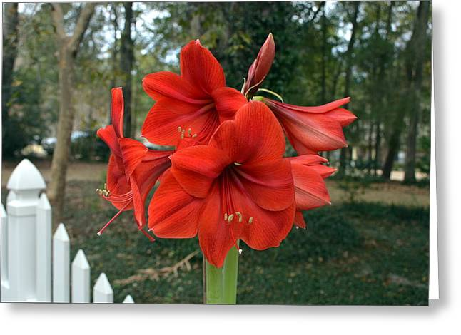 Spectacular Amaryllis Blooms Greeting Card by Carla Parris