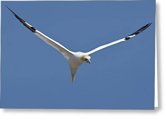 Seabirds Greeting Cards - Speed Adjustment Greeting Card by Tony Beck