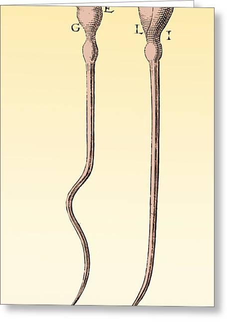 Microbiology Greeting Cards - Spermatozoa, Leeuwenhoek, 1657 Greeting Card by Science Source
