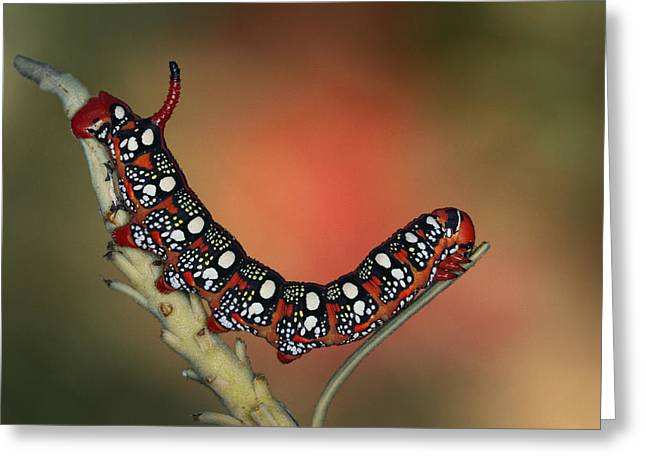 Caterpillar Greeting Cards - Sphinx Greeting Card by Jimmy Hoffman