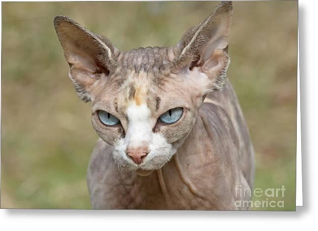 Sphynx Cat Portrait Greeting Cards - Sphynx cat Greeting Card by Allan Wallberg