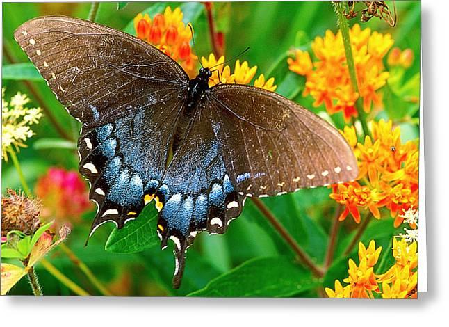 Spicebush Swallowtail Greeting Cards - Spicebush Swallowtail Greeting Card by Alan Lenk