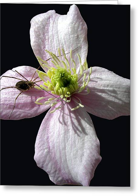Spider Flower Greeting Cards - Spider on a Flower Greeting Card by Wilbur Young