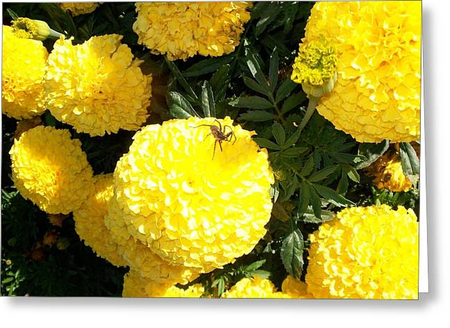 Shower Head Greeting Cards - Spider on Marigolds  Greeting Card by Sharon Duguay