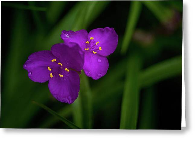 Sexual Relations Greeting Cards - Spiderwort Couple Greeting Card by Douglas Barnett