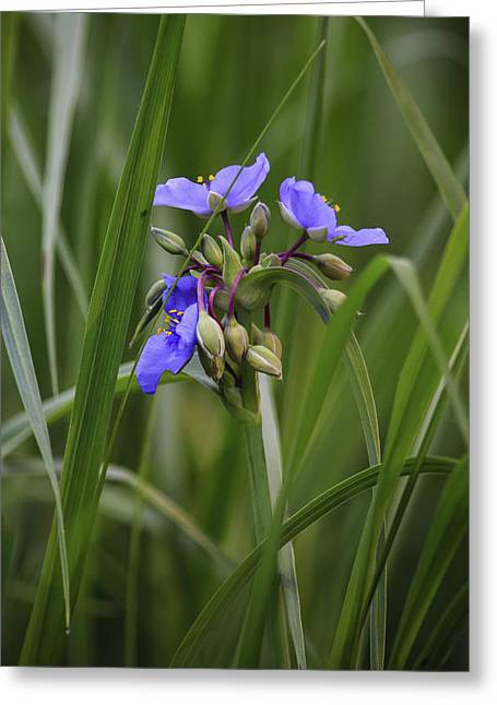 Spiderwort Greeting Card by Gary Hall