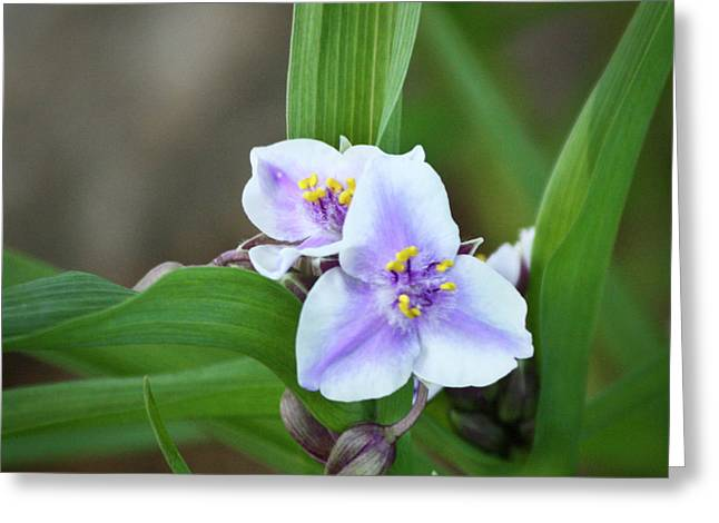 Scurvy Greeting Cards - Spiderwort Greeting Card by Teresa Mucha