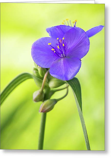 Spiderwort Wildflower Greeting Card by Ron Pate