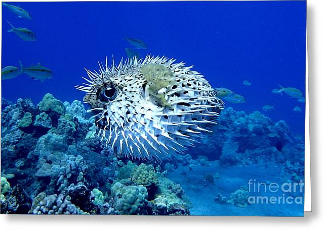 Puffer Photographs Greeting Cards - Spiky Exterior Greeting Card by Jackson Kowalski