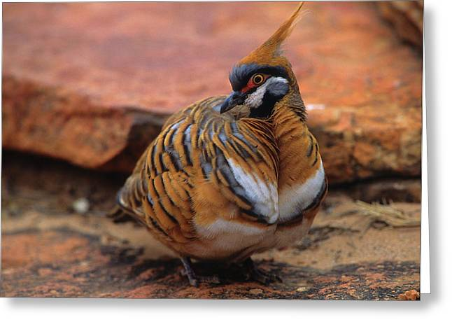 Kings Canyon Greeting Cards - Spinifex Pigeon Greeting Card by Bruce J Robinson