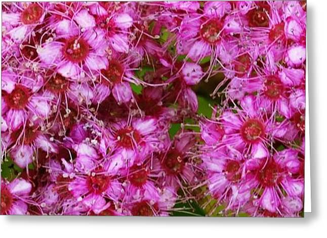 Royal Art Greeting Cards - Spirea Pink  Greeting Card by J L Zarek