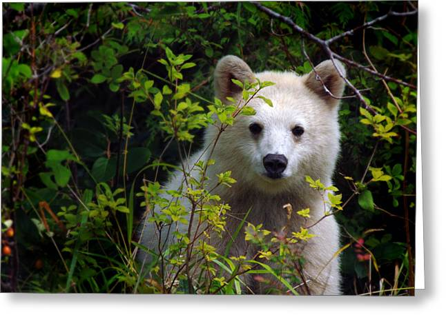 Black Berries Greeting Cards - Spirit Bear aka kermode cub Greeting Card by Melody Watson