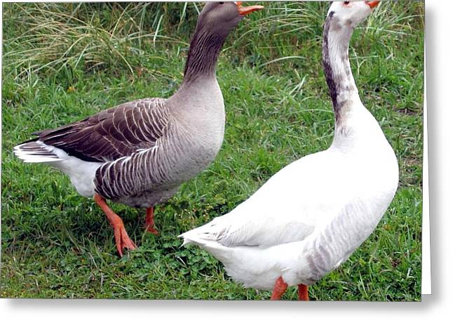 Feisty Greeting Cards - Spirited Geese Greeting Card by Will Borden