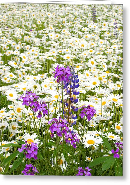 Phlox Greeting Cards - Splash of Purple Greeting Card by Larry Landolfi
