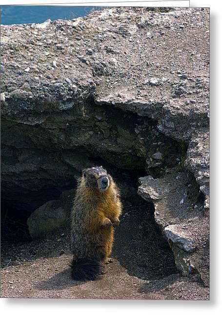 """riverfront Park"" Greeting Cards - Spokane River Marmot Greeting Card by Daniel Hagerman"