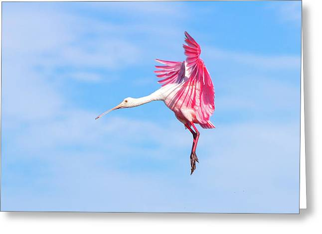Spoonbill Ballet Greeting Card by Mark Andrew Thomas