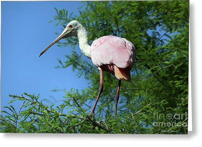 Nature Nesting Greeting Cards - Spoonbill In A Tree Greeting Card by Deborah Benoit