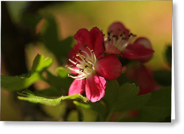 Crisp Greeting Cards - Spotlight On Hawthorn Greeting Card by Connie Handscomb