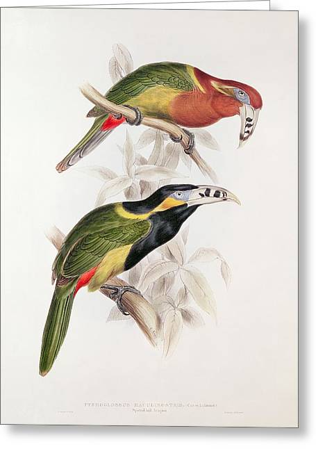 Spots Greeting Cards - Spotted Bill Aracari Greeting Card by Edward Lear