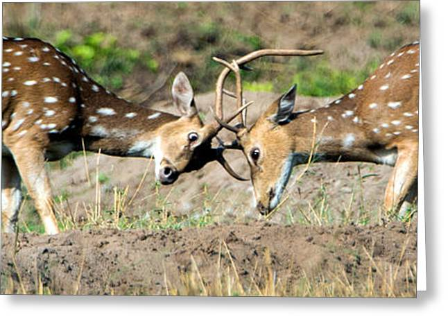 Spotted Deer Axis Axis Fighting, India Greeting Card by Panoramic Images