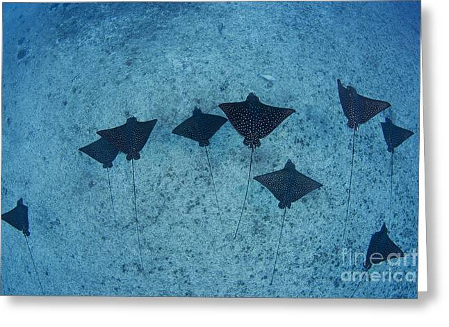 Spotted Eagle Rays Greeting Card by Dave Fleetham - Printscapes