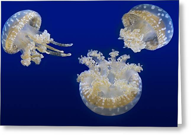 Jelly Fish Greeting Cards - Spotted Lagoon Jellyfishes Greeting Card by Susan Candelario