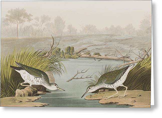 Sandpiper Greeting Cards - Spotted Sandpiper Greeting Card by John James Audubon
