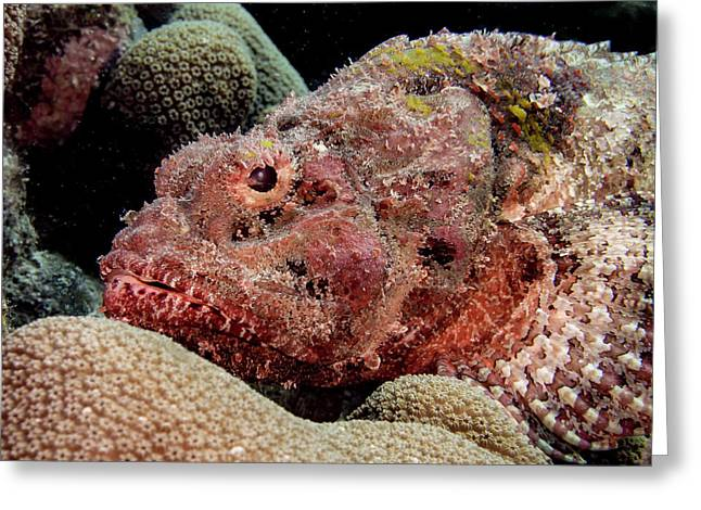 Spotted Scorpion Fish Greeting Card by Jean Noren