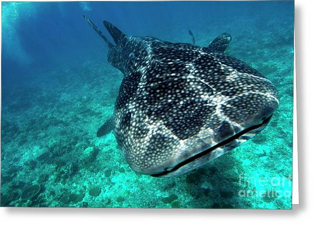 Ocean Floor Greeting Cards - Spotted whale shark Greeting Card by Sami Sarkis