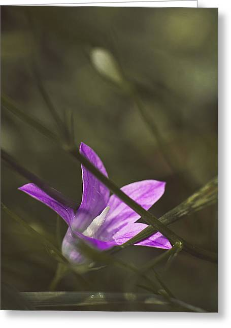 Biology Greeting Cards - Spreading Bellflower in grass Greeting Card by Cristina-Velina Ion