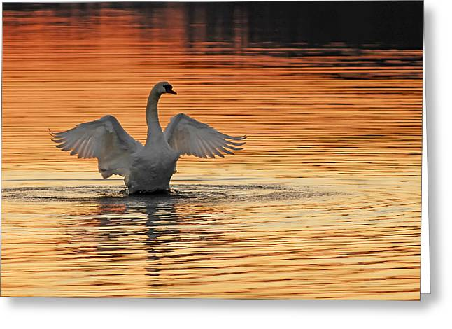 Swans At Dawn Greeting Cards - Spreading Her Wings In Gold Greeting Card by Randall Branham