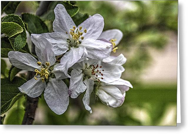Fruit Tree Art Greeting Cards - Spring 2015 Apple Blossoms Greeting Card by Roger Passman