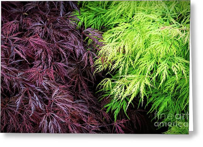 Spring Acer Palmatum Leaves Greeting Card by Tim Gainey