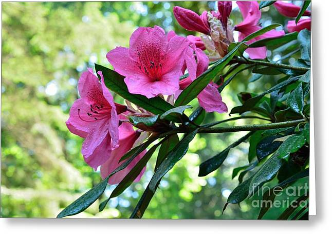Flower Blossom Greeting Cards - Spring Beauty Greeting Card by Elmar Langle