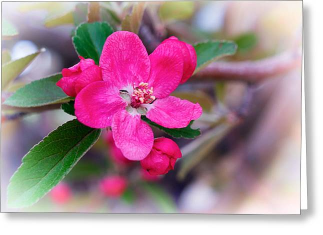Crabapple Cards Greeting Cards - Spring Beauty Greeting Card by Mary Lee Dereske