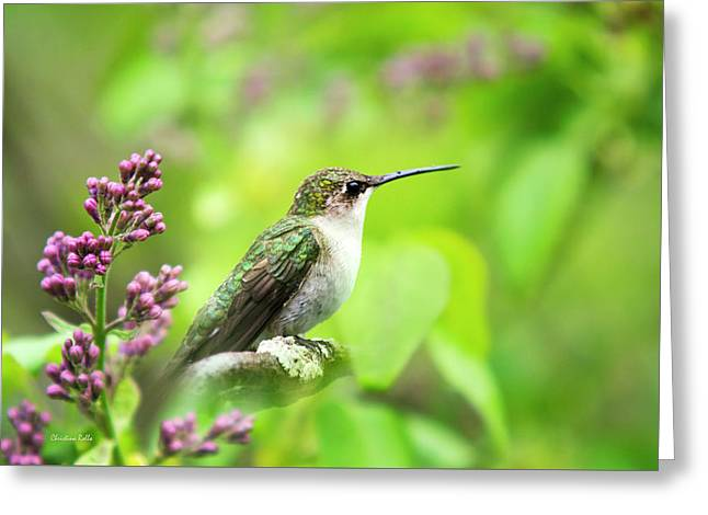 Spring Beauty Ruby Throat Hummingbird Greeting Card by Christina Rollo