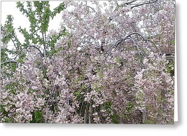 Weeping Greeting Cards - Spring Blooms Greeting Card by Peggy Chambers