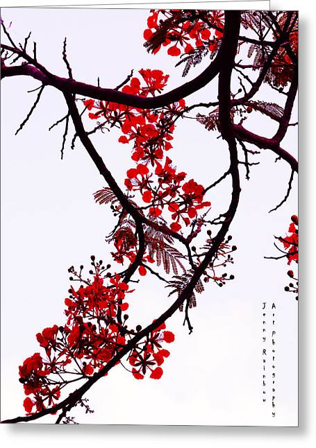 Spring Bloosom In Maldives. Flamboyant Tree Greeting Card by Jenny Rainbow