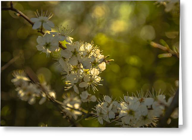Blossoming Greeting Cards - Spring blossom Greeting Card by Chris Fletcher