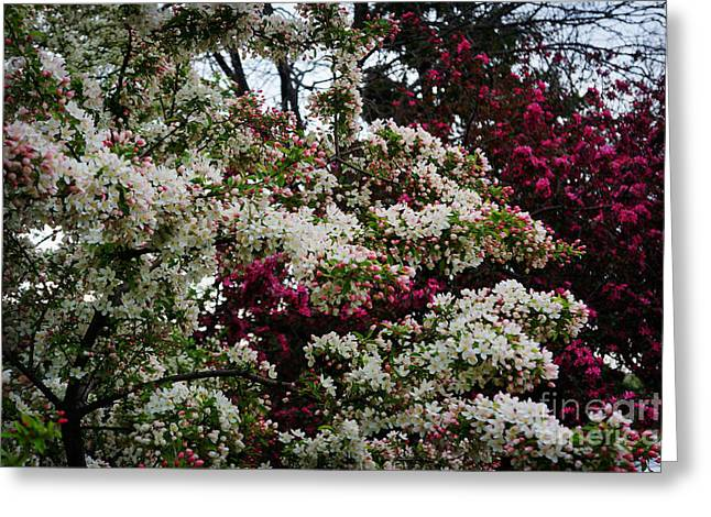 Essential Paintings Greeting Cards - Spring Blossoms  Greeting Card by Celestial Images