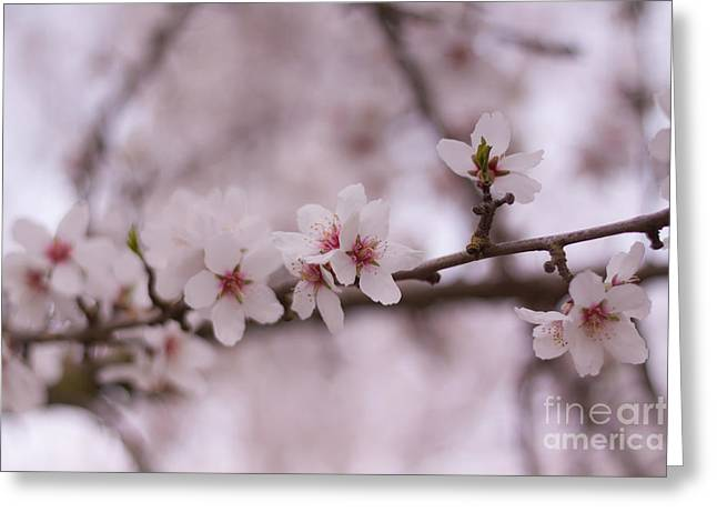 Pink Blossoms Greeting Cards - Spring Blossoms Greeting Card by Ana V  Ramirez