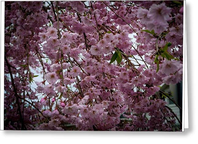 Renewing Greeting Cards - Spring Blossoms Greeting Card by Cathy Smith