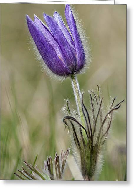 Pasqueflower Greeting Cards - Spring Crocus Greeting Card by Royce Howland