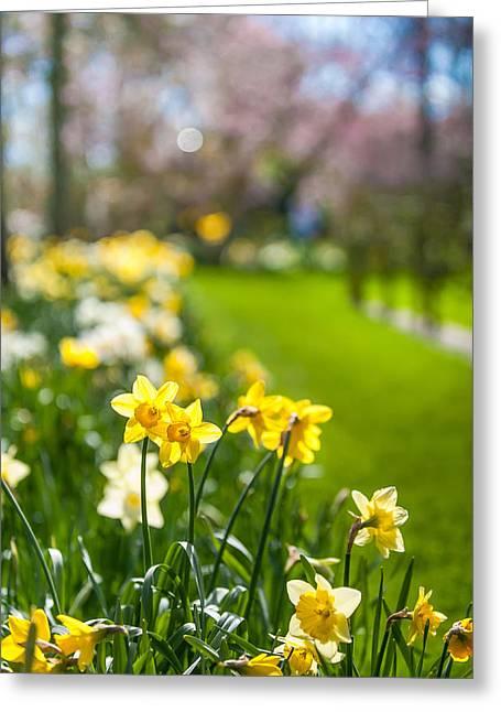 Spring Daffodils In Keukenhof Garden Greeting Card by Jenny Rainbow
