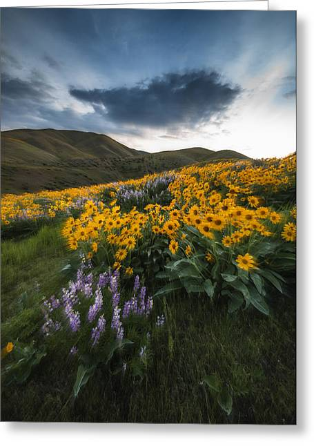 Balsam Greeting Cards - Balsamroot explosion in Boise Idaho USA Greeting Card by Vishwanath Bhat