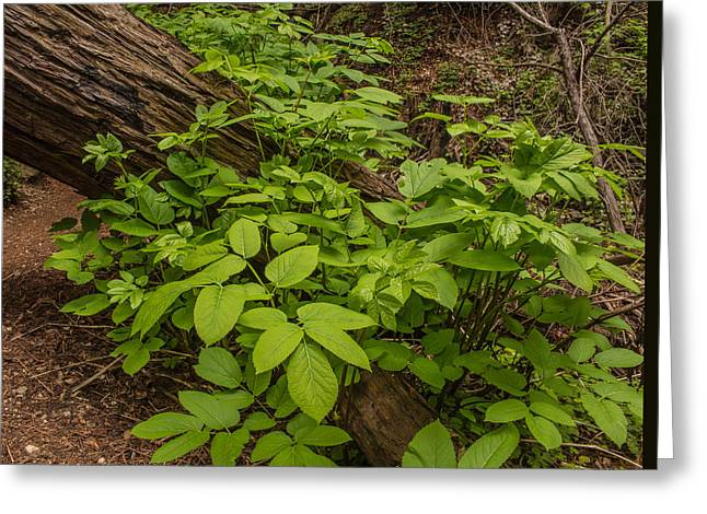 Big Sur Greeting Cards - Spring Foliage and Redwood Log Greeting Card by Danny Goen