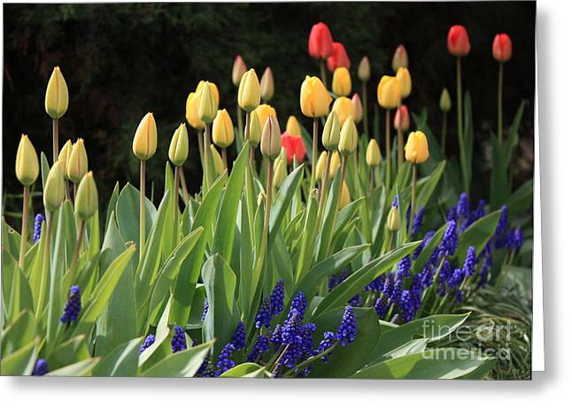 Blue Grapes Greeting Cards - Spring Garden Greeting Card by Carol Groenen